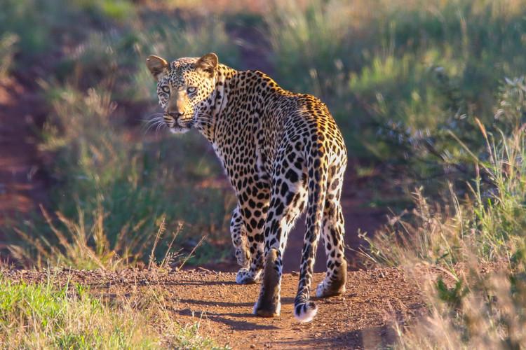 Phinda Leopard