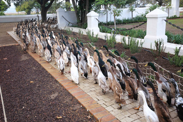 Duck Parade 3