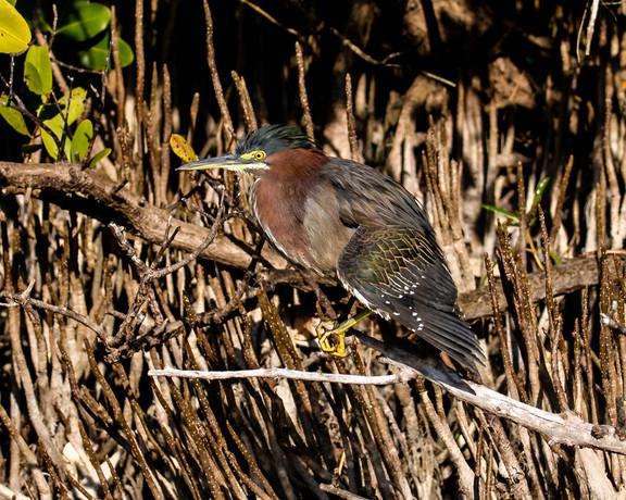 Green Heron at Merritt Island