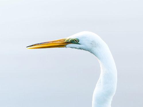 Handsome Egret