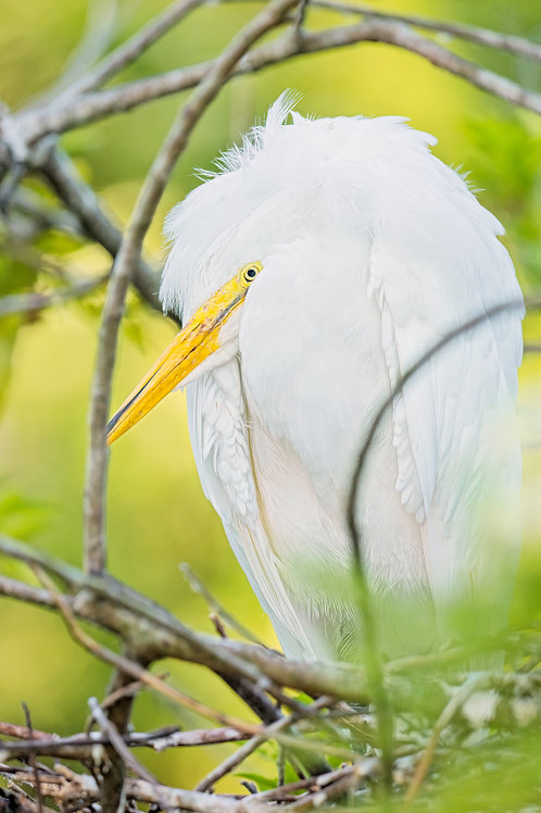 Great Ball of Egret
