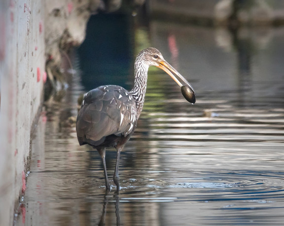 Limpkin and apple snail