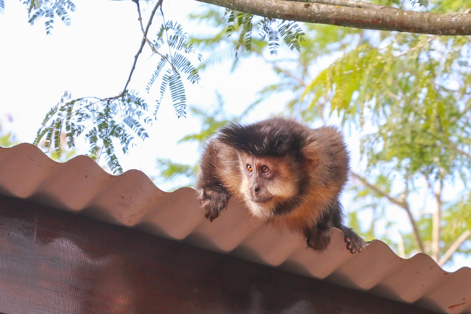 Argentinian Monkey