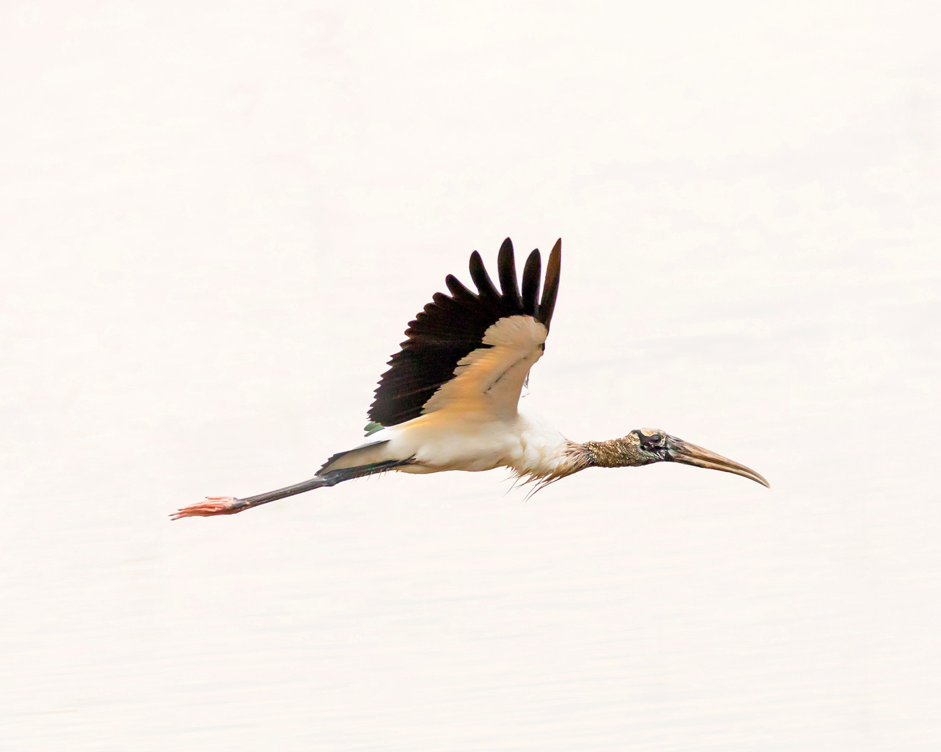 Flying Wood Stork