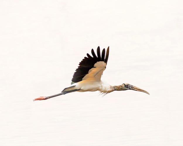 Flying Wood Stork