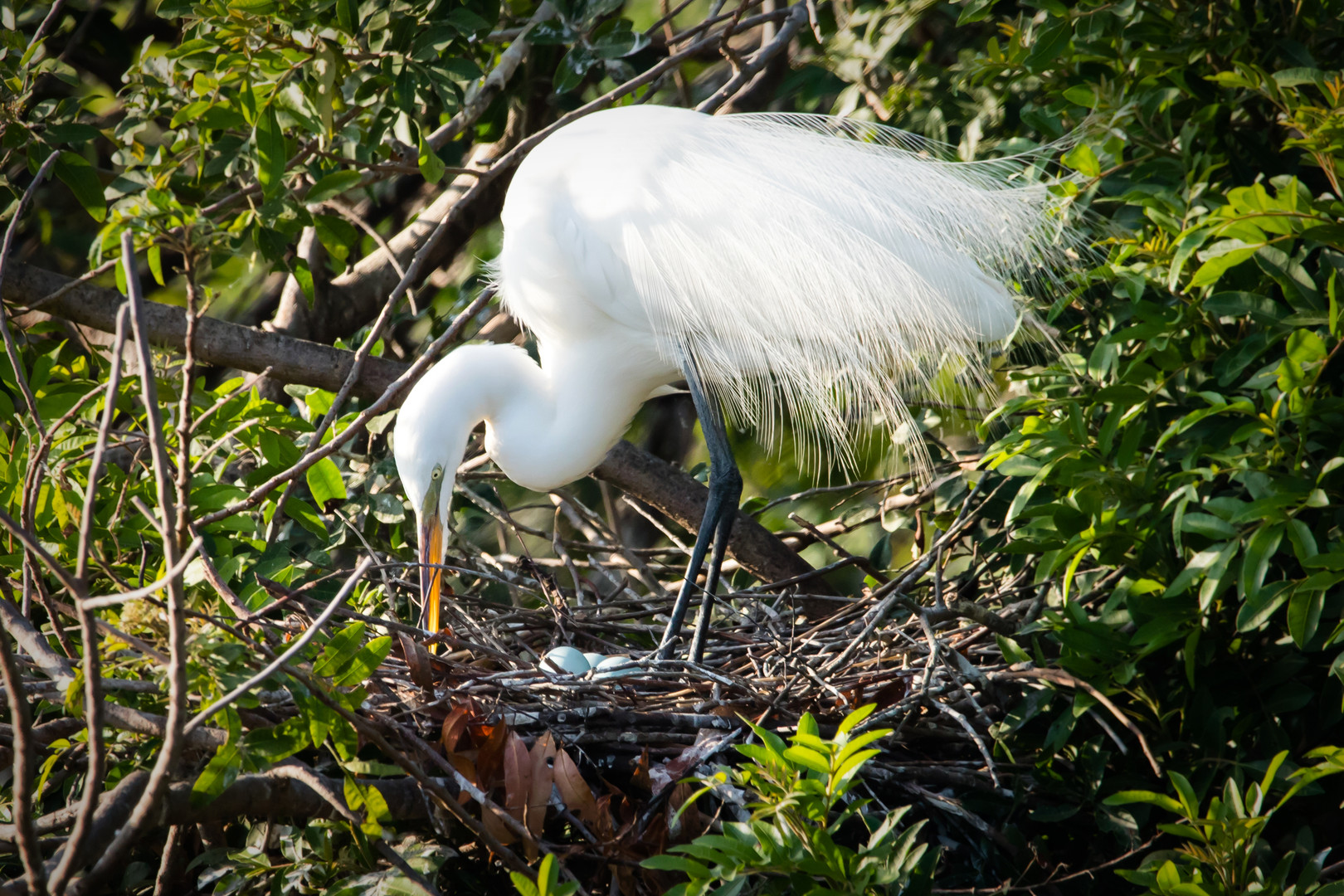 Great Egret in nest
