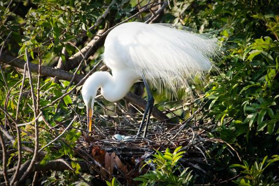 Great Egret in nest