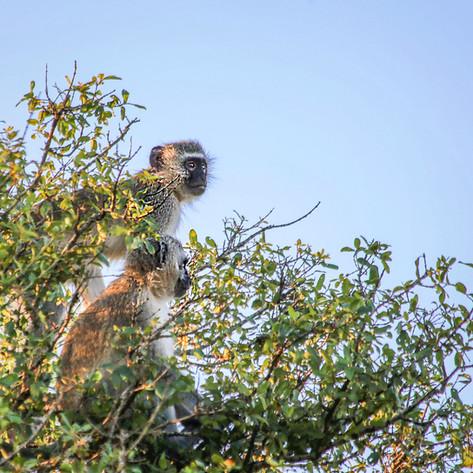 Monkeys on Lookout