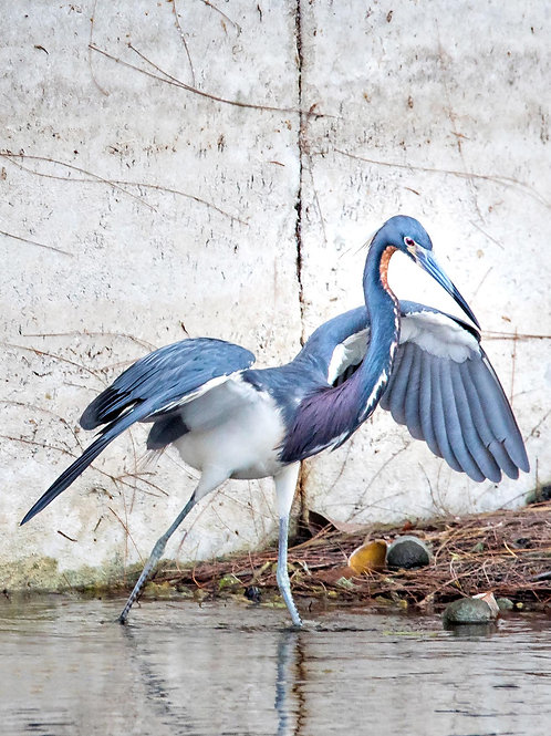 Tri-Colored Heron and Apple Snail Shells