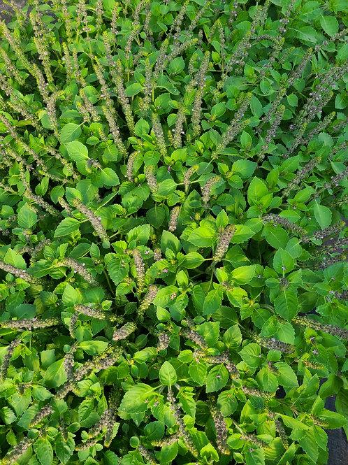 Organic Holy (Tulsi) Basil