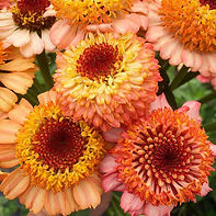 Zinnia pic for Wix.jpg