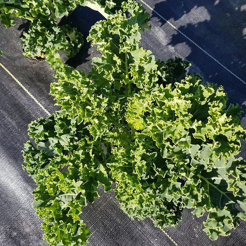 Organic Kale - bunch green curly