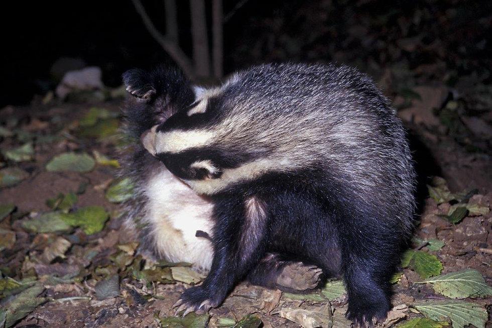Badger 19.jpg