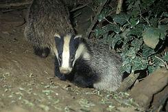 Badger 22.jpg
