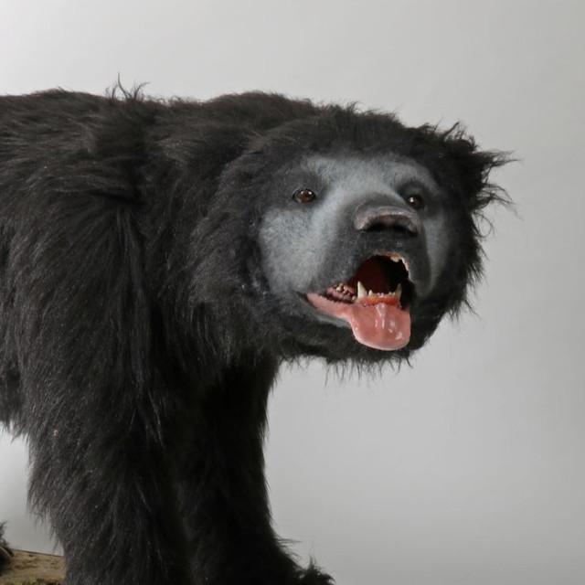 Sloth Bear Animatronic
