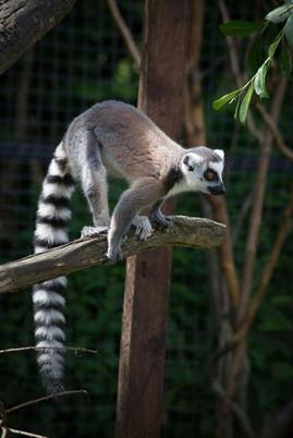 Ring-tailed Lemur (Hazel)