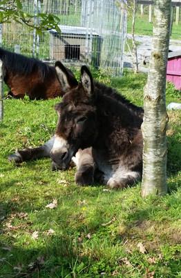 Donkey (Stripes)