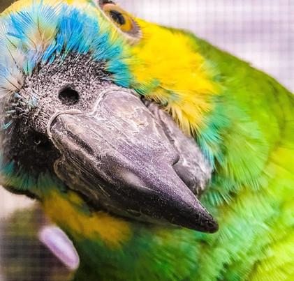 Amazon Parrot (Rio)