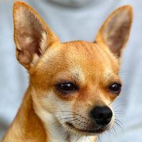 chihuahua-sobel-dog-50718.jpeg