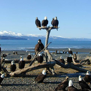 Eagles on the Spit