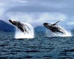Breaching Humpback Whales