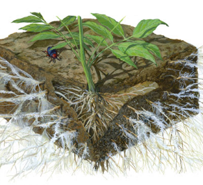 Why mycorrhizae is so important to cover crops