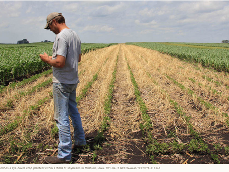 Where Corn Is King, the Stirrings of a Renaissance in Small Grains
