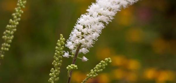 Cimicifuga racemosa - Traubensilberkerze