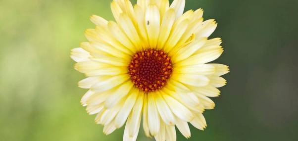 Calendula officinalis - Ringelbume