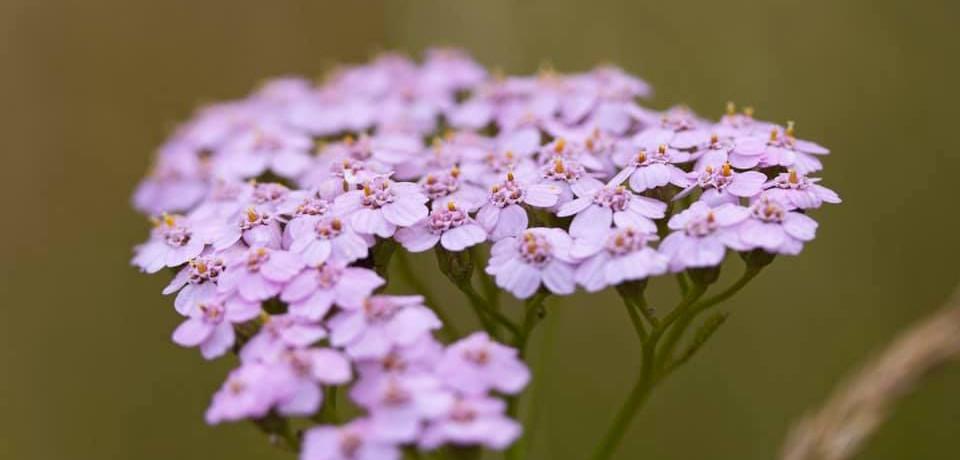 Achillea millefolium - gemeine Schafgarb