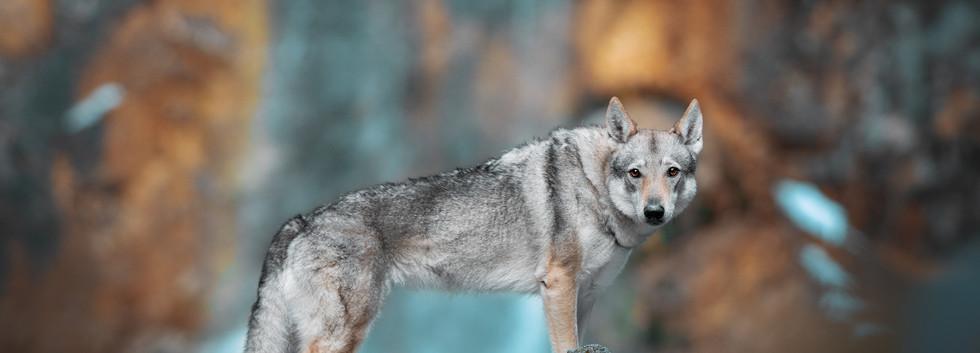 tschechoslovakischer Wolfshund (2).jpg
