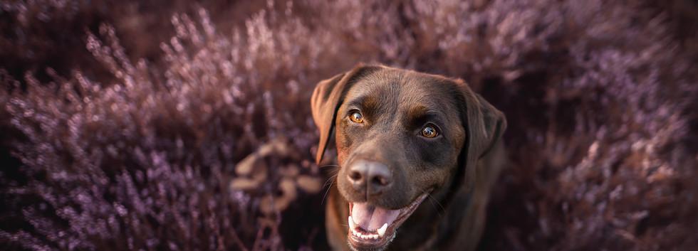 Labrador (5).jpg