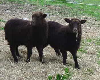 Morrit Lambs