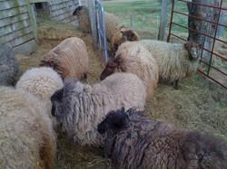 Shetlands2