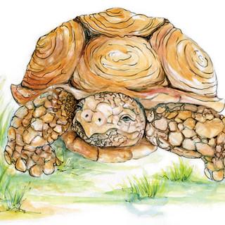 tortois