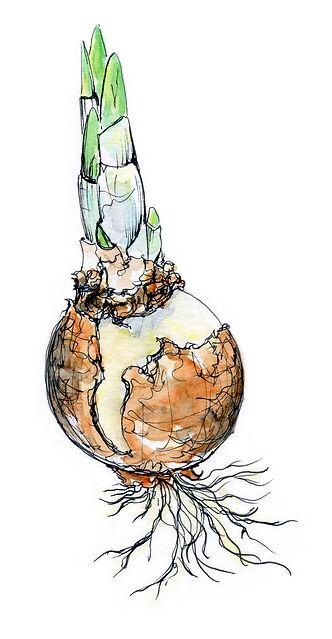 paperwhite.bulb.jpg