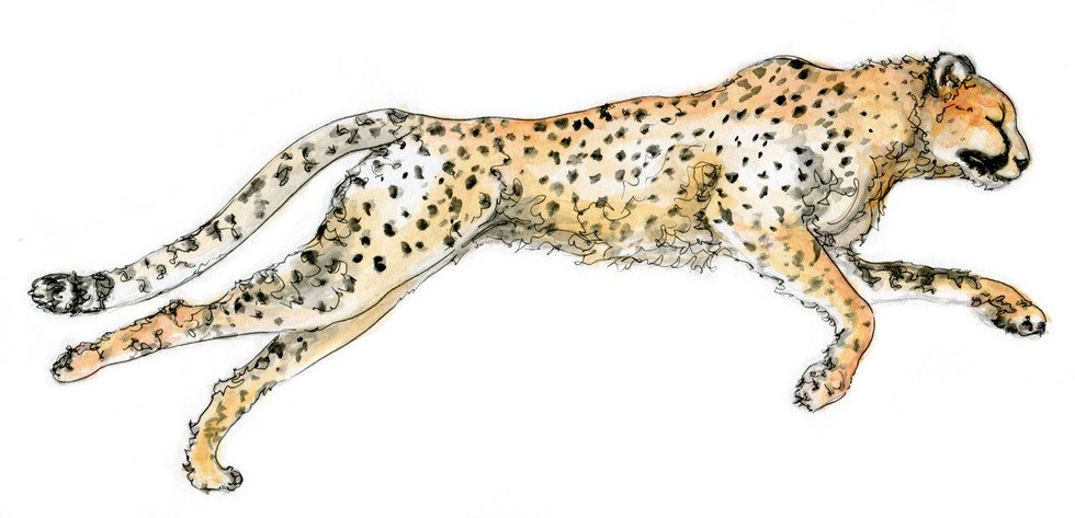 Nicole Monahan Cheetah