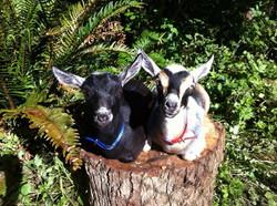 Goat Sisters