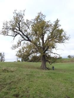 18 c  oak tree in field