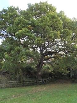 17 oak near laugherne brook