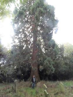 4 old churchyard giant redwood