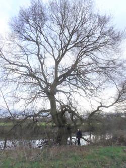 7a oak 1 by severn