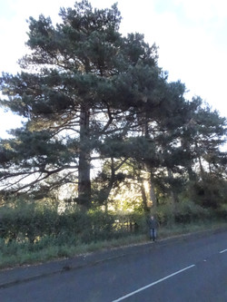 14 a) b) black pines