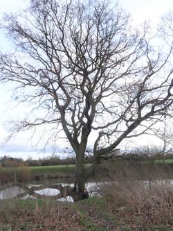 7b oak 2 by severn
