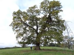 18 b oak in field