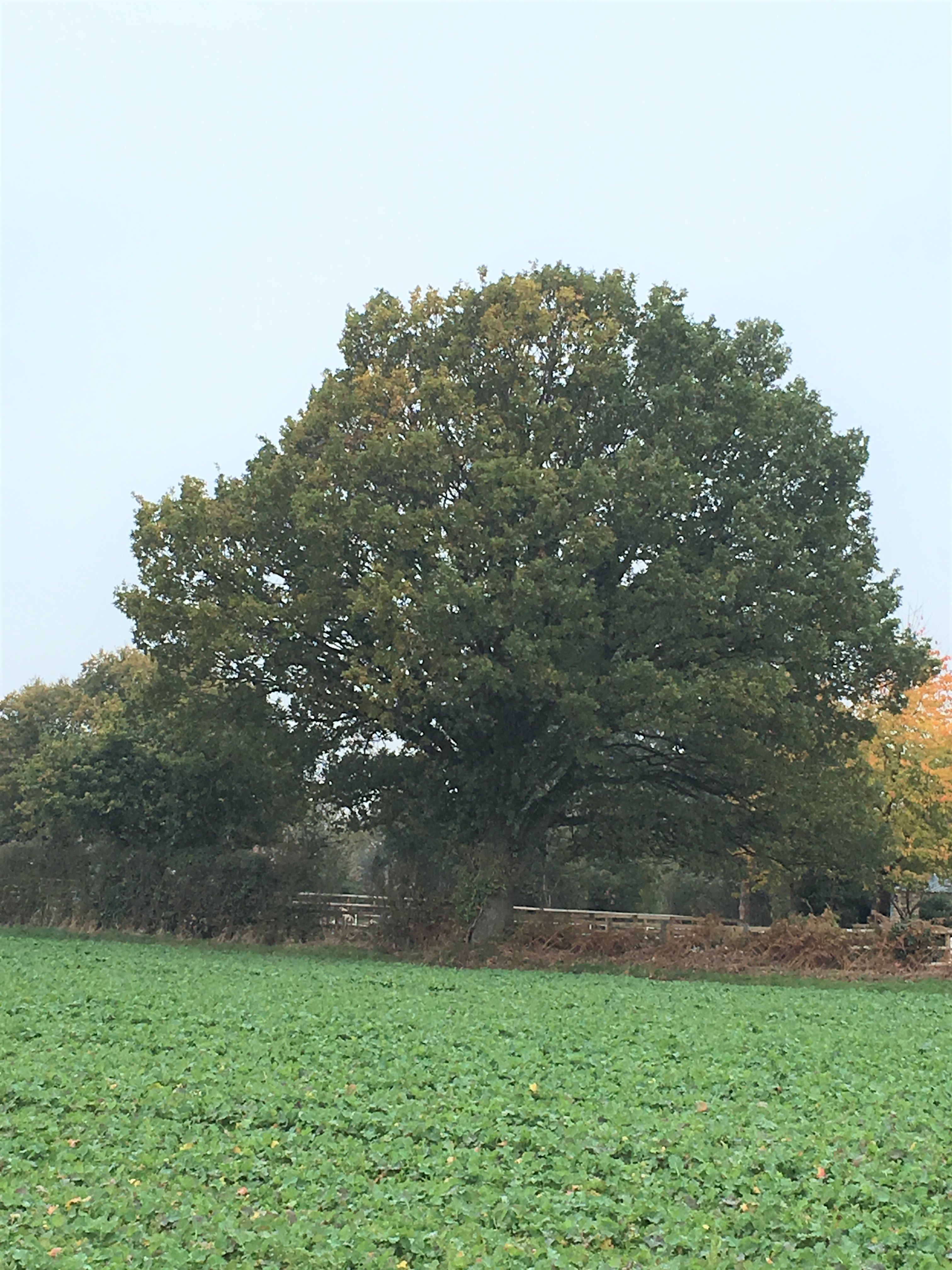 9 a brum  oak