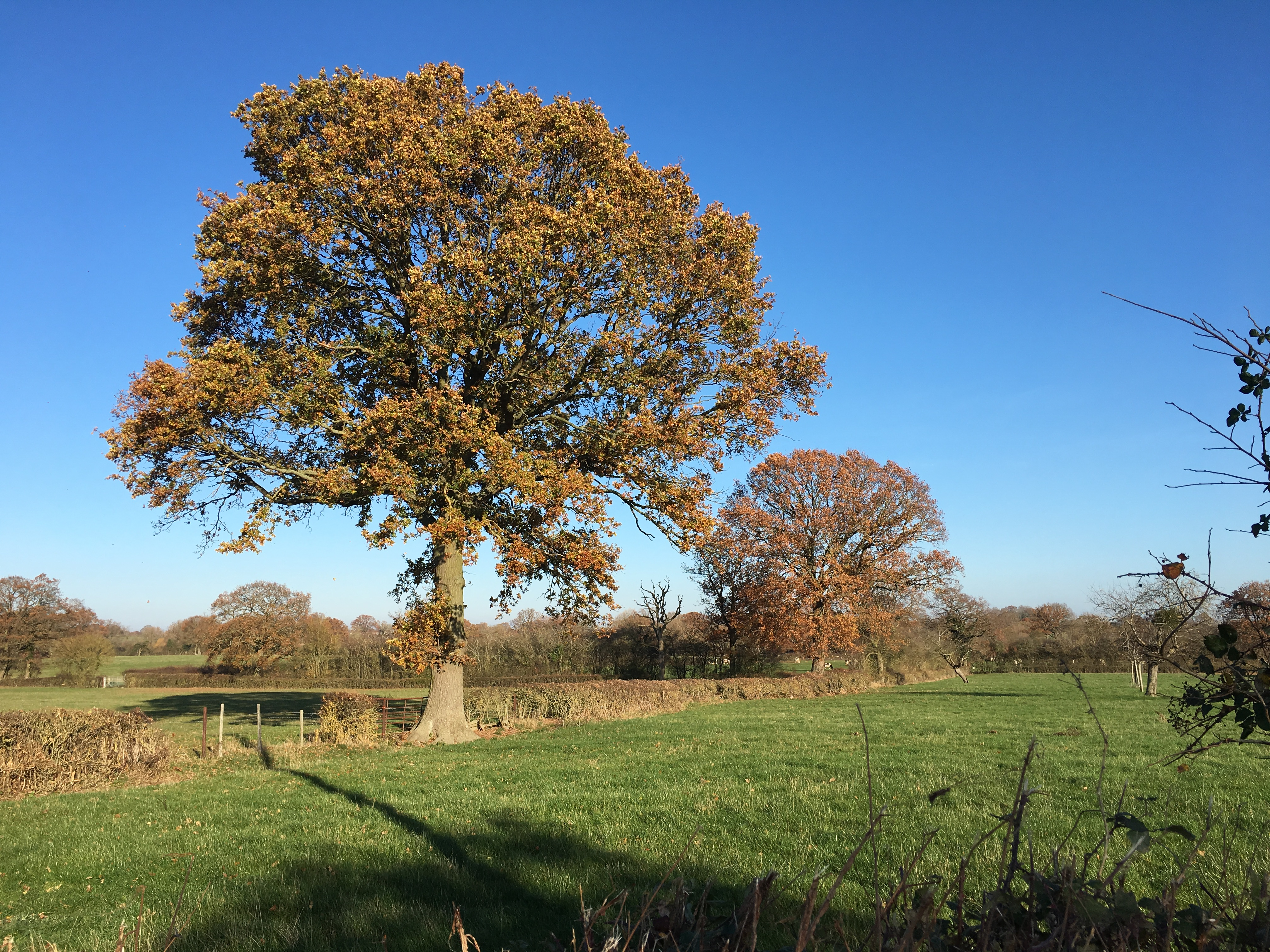 10 oak nr spindlewood