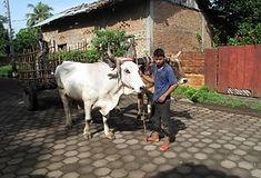 Posoltega cow.jpg