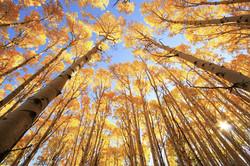 Aspen trees with fall color, San Juan Na