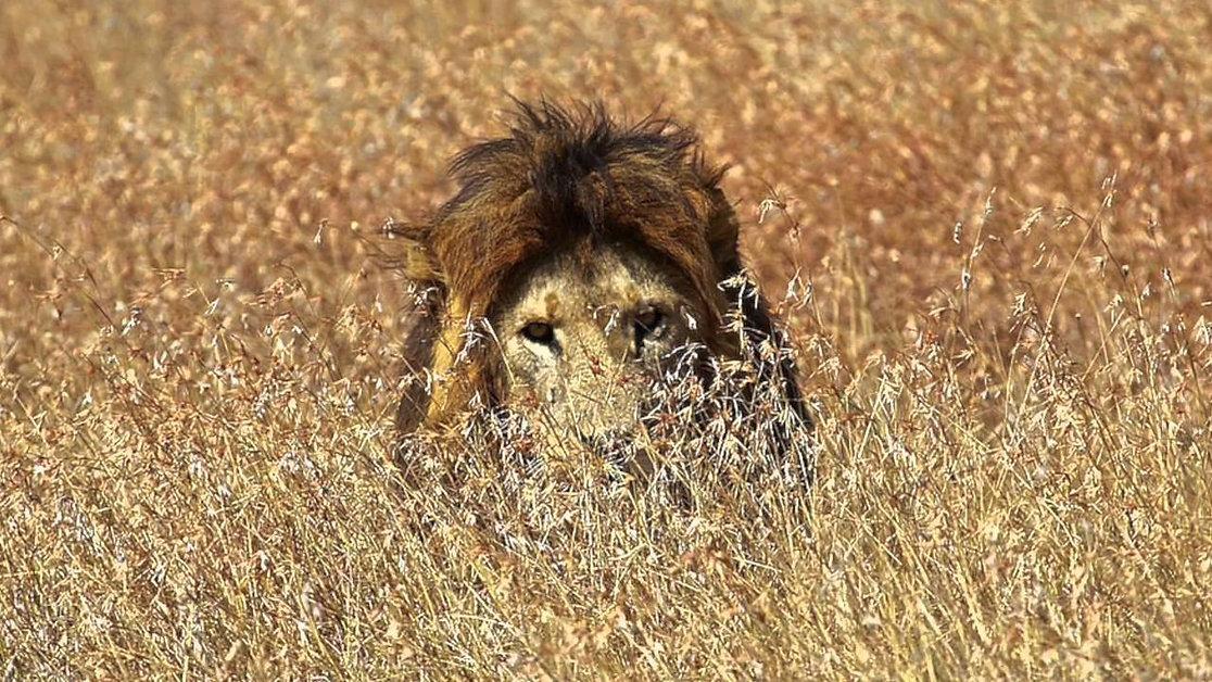 Lions-Stalk-Their-Prey.jpeg